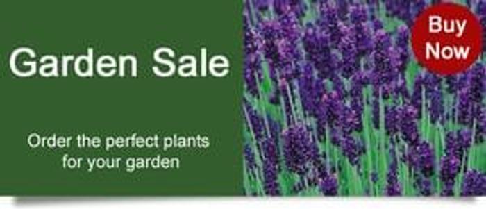 Swanley Village Nursery 10 X Lavender Hidcote Plug Plants