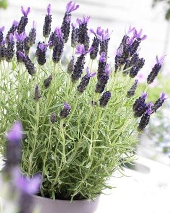 Gardening Express - 6 x French Lavender - Save over £35