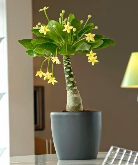 Gardening Express - Hawaiian Palm - Brighamia Insignis £9.99