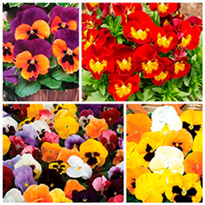 Direct from Jersey - 170 Plug Plants for Just £9.99 with FREE P&P!