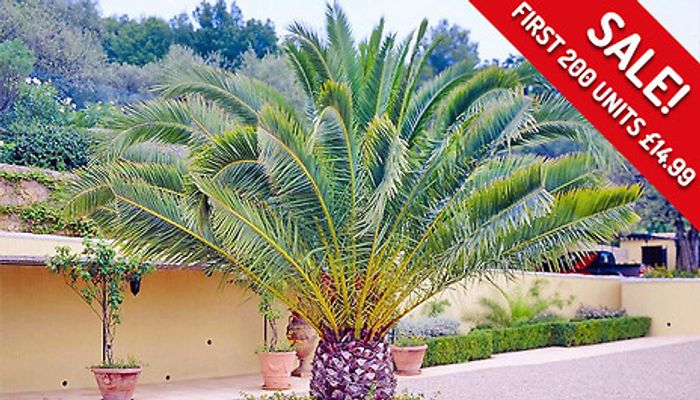 Giant 4-5ft Canary Island Hardy Palm Trees - 1 or 2