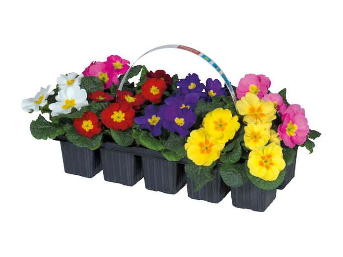 Brighten Your Garden - 10 Primroses For £2.99