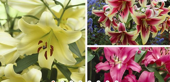 Skyscraper Giant Lily Tree Collection - 15 Bulbs - Save £7!