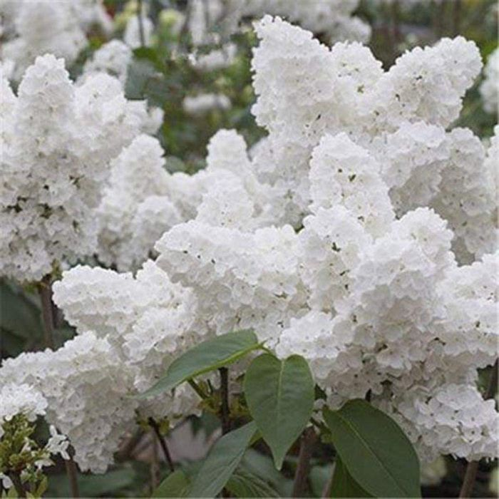 50pcs Adorable Flower Fragrant Blooms Lilac Flowers Seeds Flowers
