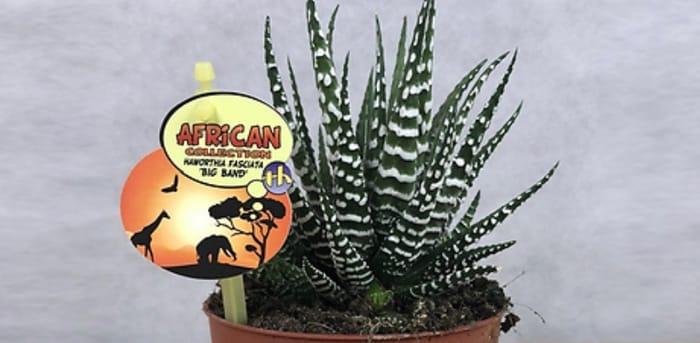Haworthia Fasciata Big Band Plant with Pot Options