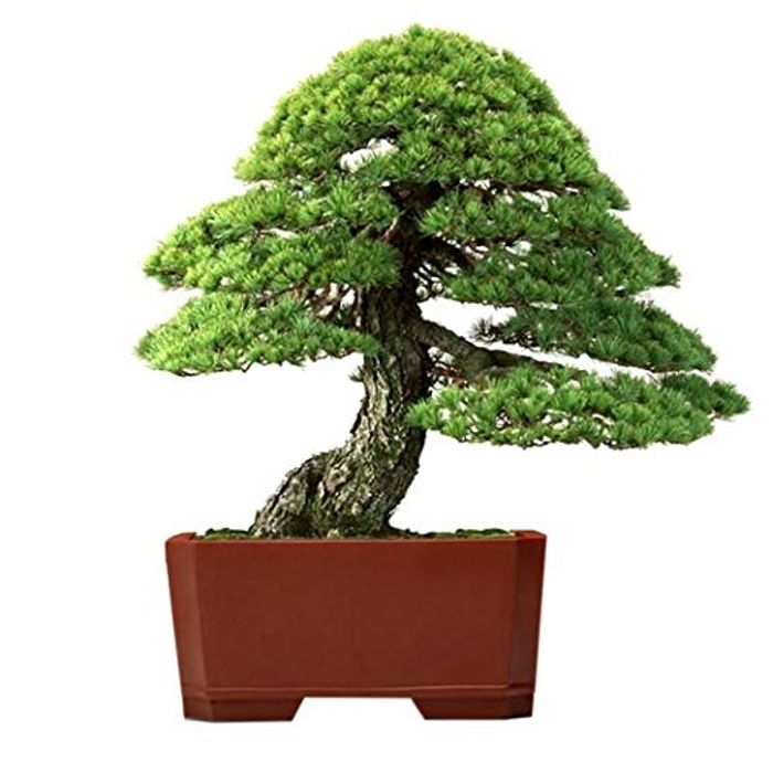 Grow Your Own Bonsai Seeds! £1.99