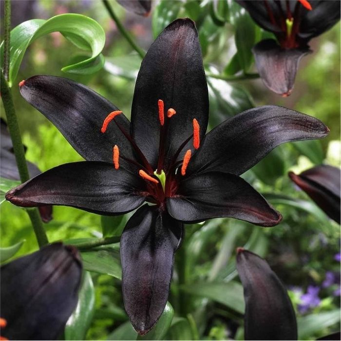 Rare Black Lily Bulbs X10