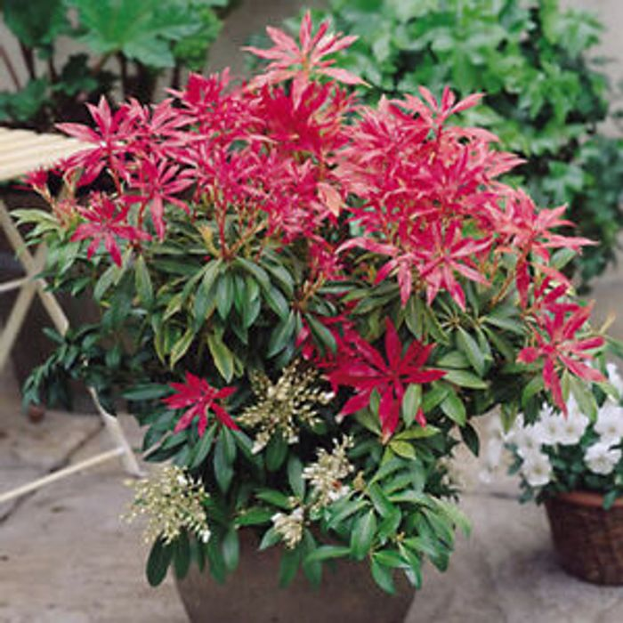 Details about 3 X PIERIS 'FOREST FLAME' EVERGREEN SHRUB HARDY PLANT in POT