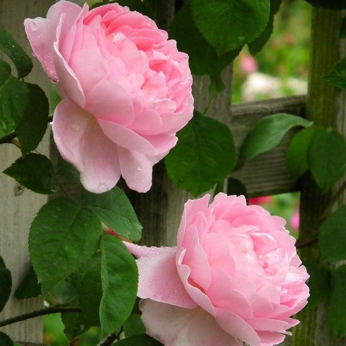 Extra 10% off Roses in the Summer Rose Festival Collection at Gardening Express
