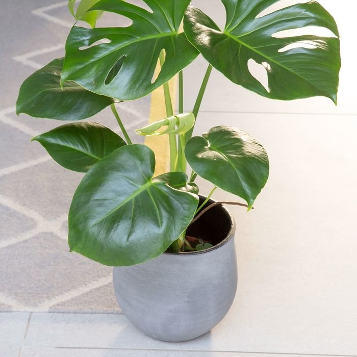 The Little Botanical | Buy One Monstera Plant Get One Free