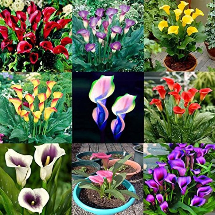 100pcs Calla Lily Seeds 70% off + Free Delivery