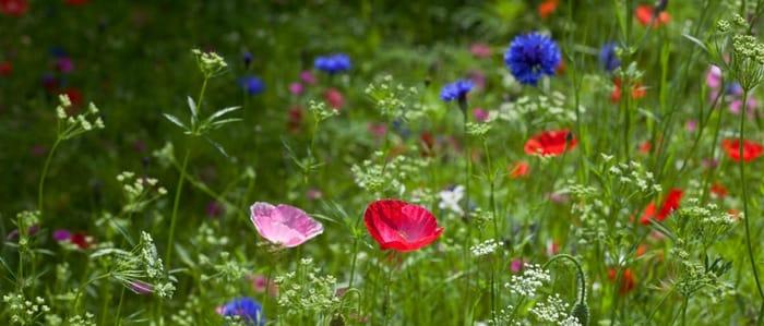Free Wildflower Seeds and Advice