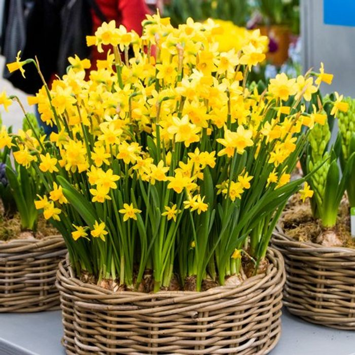 100 Multi-Headed Narcissus Tete a Tete Bulbs