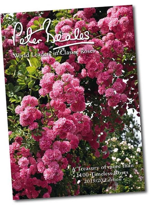 Get A Classic Roses Catalogue From Peter Beales FREE BY POST