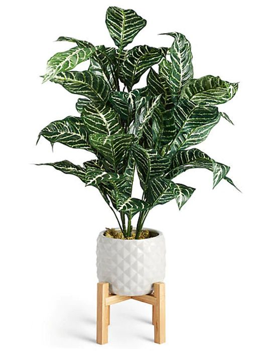 Zebra Plant in Ceramic Pot with Stand