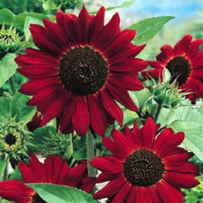 Giant Sunflower - Red Sun - 80 High Quality Seeds