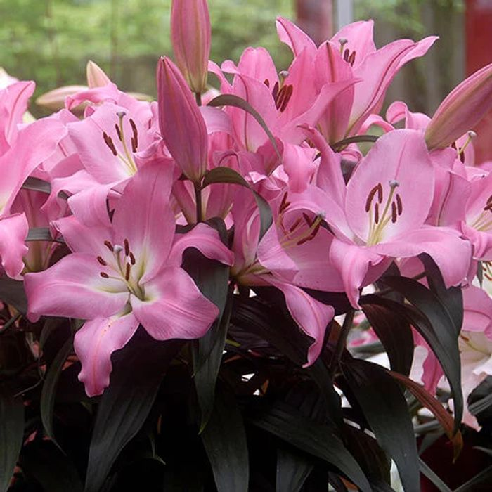 7 Free Lily Bulbs with Any Purchase of Plants Seeds and Bulbs at You Garden