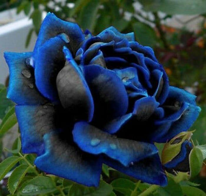 Midnight Blue Rose Flower Seeds, Rare Garden Plant, (Buy 1 Get 1 15% Off)