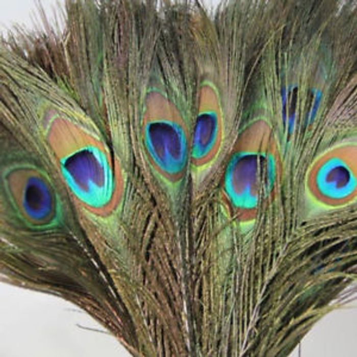 10x Peacock Tail Feathers