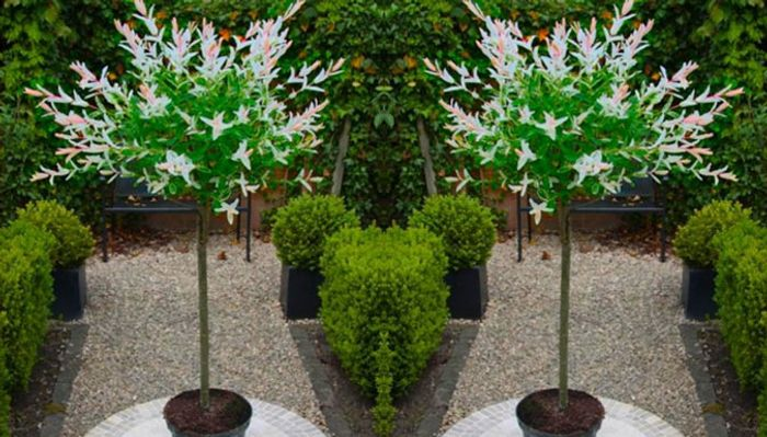 2 X Topiary Salix Flamingo Trees