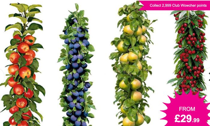 CHEAP! Pot-Grown Pillar Fruit Trees 4 for £29.99 / 8 for £49.99