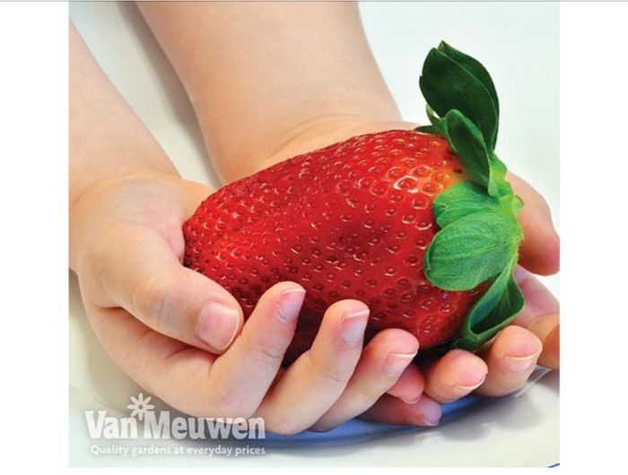 Strawberry 'Sweet Colossus' Fragaria X Ananassa 6 X 9cm Pots.