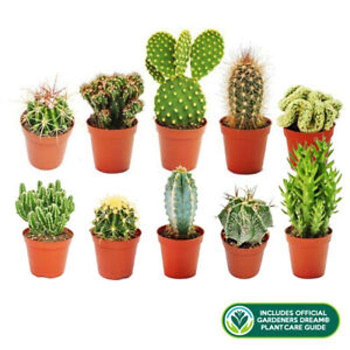 10 Individual Cactus Plants In Pots £15.99 Delivered