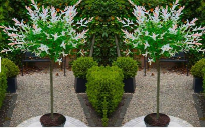 2 X Topiary Salix Flamingo Trees + EXTRA 10% Off