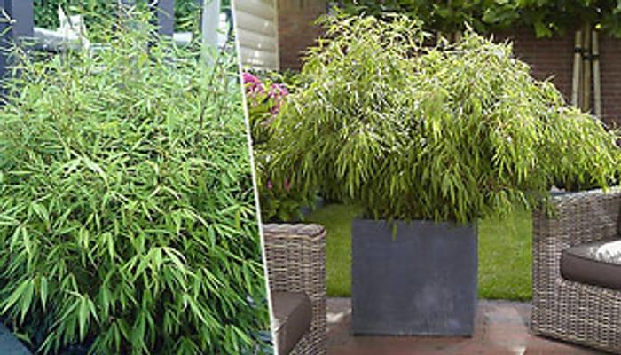Pair of Fountain Bamboos - Fargesia Rufa + EXTRA 10% Off