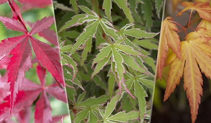 Special Offer - 3 X Japanese Maple Acer Trees + EXTRA 10% Off