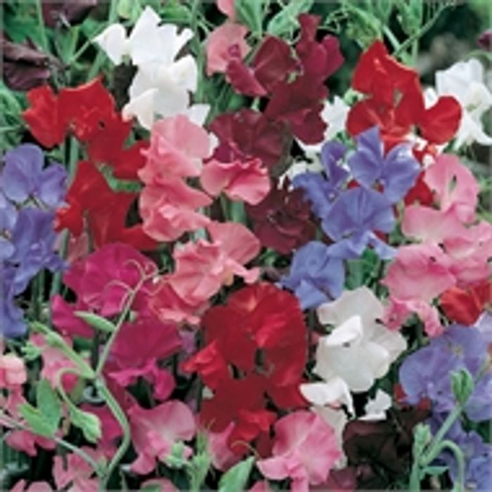 Special Offer - Sweet Pea Plant Mix - £1 @Home Base