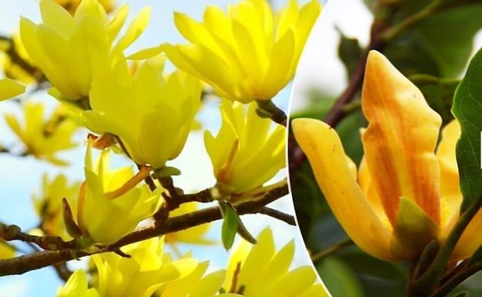 Large 4ft Magnolia Sun Spire Tulip Tree - £23.99 Delivered