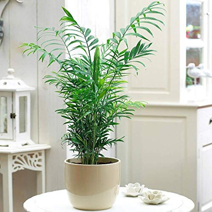 Chamaedorea Elegans Palm - Premium Tall Indoor House Plant