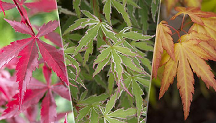 3 X Japanese Maple Acer Trees + EXTRA 10% Off