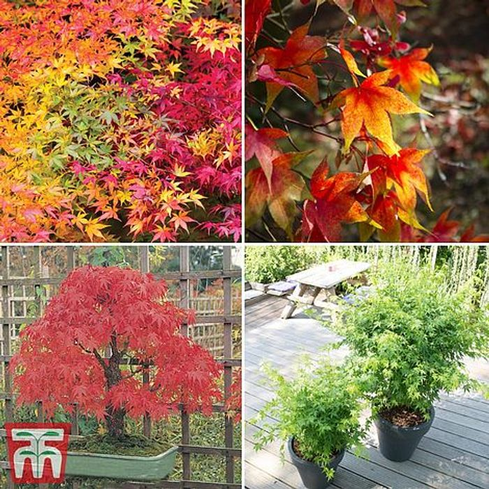 4 x Japanese Maple Acer Plants - Free Delivery - £19.99 at Thompson & Morgan