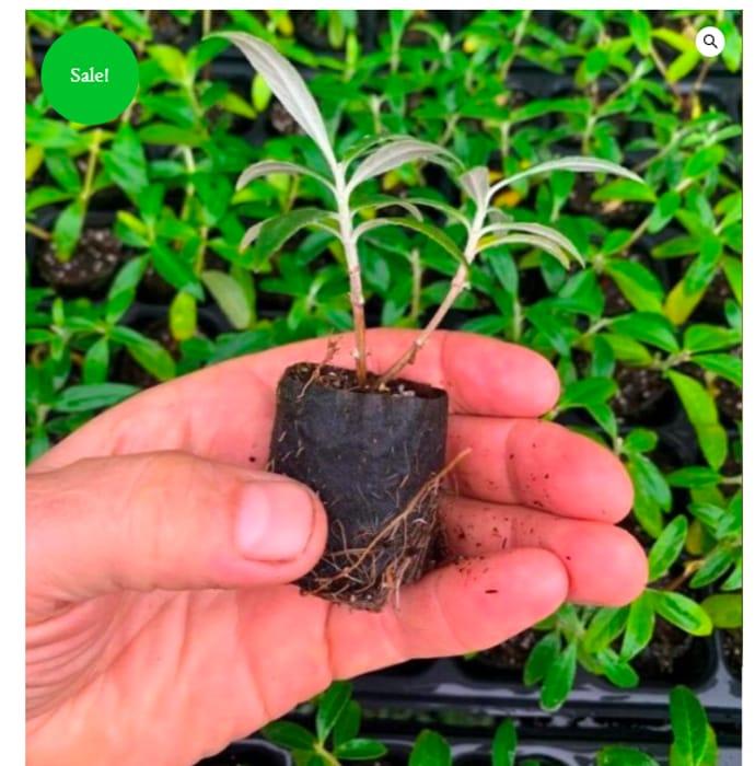 Free Buddleija Plant *Just Pay P&P