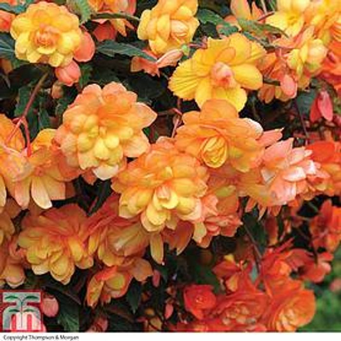 30 Garden Ready Begonia Apricot Shades NOW £5.99