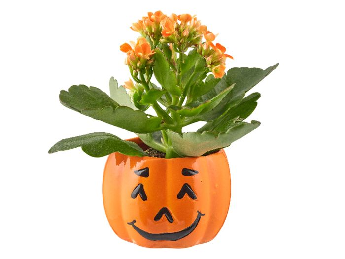 Halloween Kalanchoe in Ceramic Pot