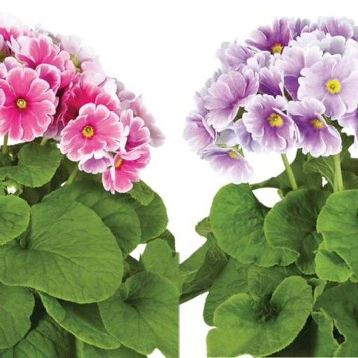 Primula Houseplant Duo Mauve & Pink