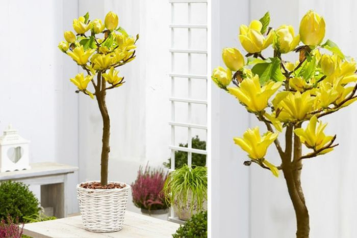 Magnolia Yellow Bird-Tulip Patio Tree. from £19.99