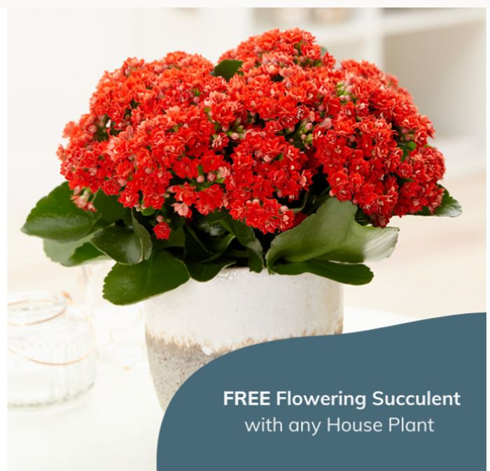 A Free Flowering Kalanchoe Succulent Worth £4.99 When You Buy Any Houseplant