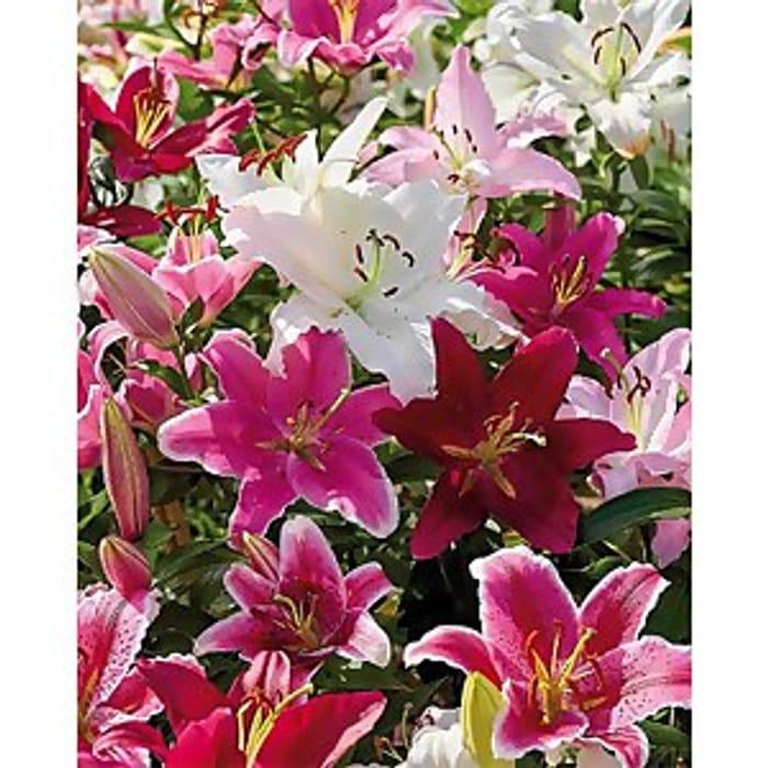 Pack of Bulbs Summer Bloom Lillies
