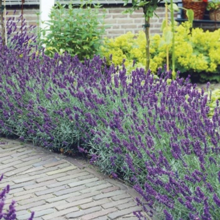 40 Free Angustolia Hidcote AGM Lavender Plug Plants
