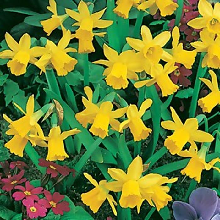 Dwarf Daffodils 1L