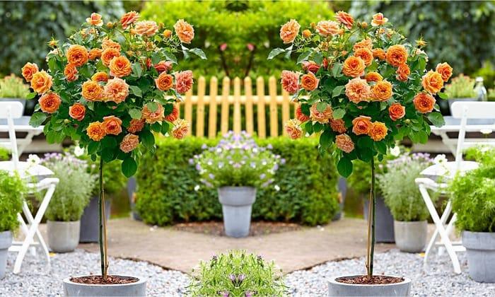 Pair of Mini Standard Orange Rose Trees