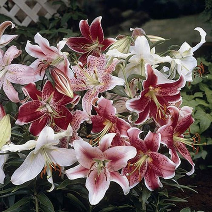 Mixed Fragrant Oriental Lilies