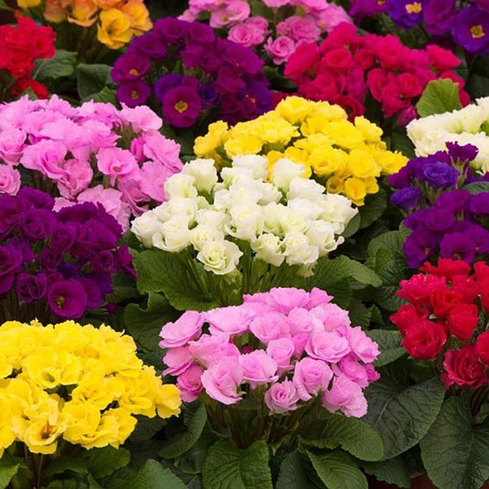 Primrose Plants - Primlet Tropical : 24 Plug Plants