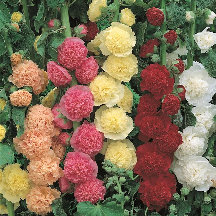 3 FREE Hollyhock Mixed Plants *Just Pay P&P