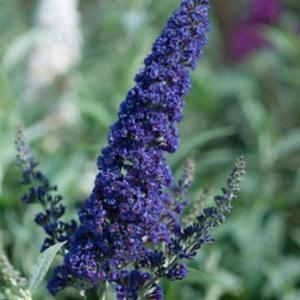 Buddleja deal: 4 beautiful indigo plants, big discount