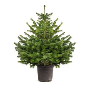 Real Christmas Tree (Amazon Prime)